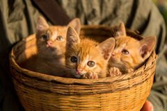 Cute kittens sitting in a basket. On the hand royalty free stock image