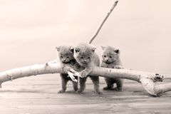 Cute kittens up on a branch. Cute British Shorthair kittens climbing on a tree, white background stock photography
