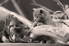 Cute kittens up on a branch. Cute British Shorthair kittens climbing on a tree, white background stock image