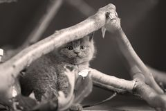 Cute kittens up on a branch. Cute British Shorthair kittens climbing on a tree, white background stock photo