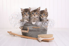 Cute Kittens in Washtub Getting Groomed By Bubble Bath Stock Photography
