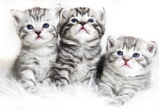 Cute kittens on a white background. Beautiful plush kittens babi Stock Photo