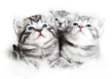 Cute kittens on a white background. Beautiful plush kittens babi Royalty Free Stock Image