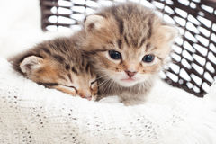 Cute kittens. In a wicker basket on a white blanket stock image