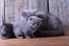 Small kitten playing with mom Stock Image