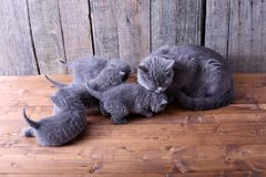 Small kittens playing with mom Stock Image