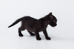 Cute kitty balck cat playing on white background Royalty Free Stock Image