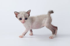 Cute kitty cat walking on white background Royalty Free Stock Images