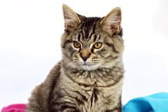 Cute kitty. Cute grey tabby kitten over white Stock Images