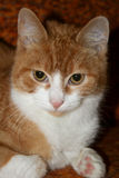 Cute kitty Royalty Free Stock Photos