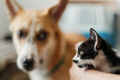 Cute kitty meeting with big golden dog in stylish room. woman ho. Lding adorable black and white kitten and playing with puppy, funny emotions together. best royalty free stock photos