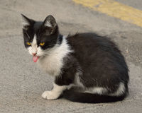 Cute kitty with pink tongue Royalty Free Stock Photo