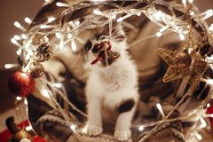 Cute kitty playing in basket with lights and ornaments under chr royalty free stock image