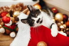 Cute kitty playing with red and gold baubles in box, ornaments a. Nd santa hat under christmas tree in festive room. Merry Christmas concept. Adorable funny royalty free stock photos