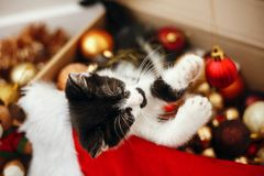 Cute kitty playing with red and gold baubles in box, ornaments a royalty free stock images