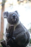 Cute Koala Stock Photography