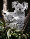 Cute koala mother and baby. Australian Koala and six week old baby Stock Photos
