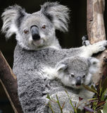Cute koala. Australian Koala and six week old baby Royalty Free Stock Photography