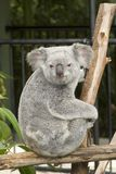 A cute koala bear at Australia Zoo Stock Photos