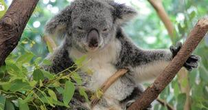 Cute koala bear eating green fresh eucalyptus leaves. Australia stock footage