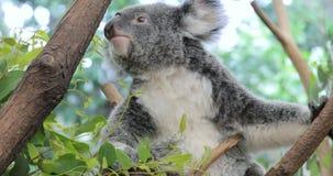 Cute koala bear eating green fresh eucalyptus leaves. Australia stock video footage
