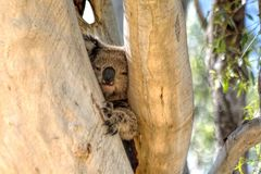 A Cute Koala Bear in Gum Tree. The koala is a small bear-like, tree-dwelling, herbivorous marsupial which averages about 9kg 20lb in weight. Its fur is thick and Stock Images
