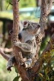 Cute Koala bear sitting on tree branch royalty free stock photography