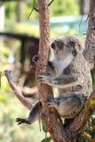 Cute Koala bear sitting on tree branch stock photos