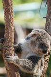 Cute Koala bear sitting on tree branch stock photography
