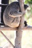 Cute Koala bear sitting on tree branch royalty free stock image