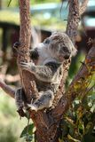 Cute Koala bear sitting on tree branch stock images