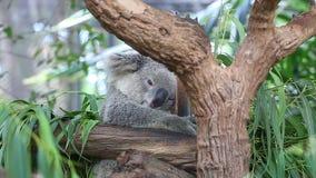 Cute Koala Bear Sleeping On Tree Stock Photography