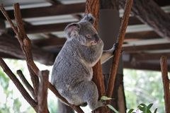 Cute koala bear on tree royalty free stock photography