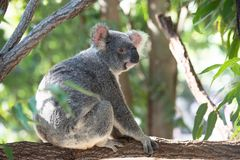 Cute koala on a branch. Full body portrait of a cute koala, wide awake, sitting on a eucalyptus branch royalty free stock photo