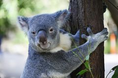 Cute koala close up sit on a tree branch. Cute Australian koala bear close up sitting on a tree branch royalty free stock photos
