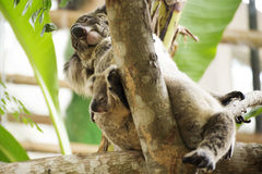 Cute Koala Stock Photography