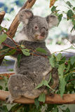 Cute koala. Full body portrait of cute photogenic koala sitting in a gum tree stock photos