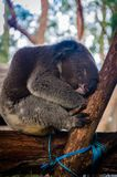 Cute koala having a daydream on a tree stock photo