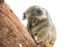 Cute koala isolated on white background stock images