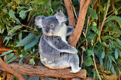 Cute koala looking on a tree branch eucalyptus Stock Image
