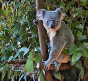 Cute koala looking on a tree branch eucalyptus Royalty Free Stock Photography