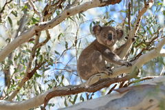 Cute koala. Koala - Narrandera Reserve Australia NSW royalty free stock photo