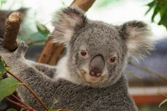 Cute koala. Portrait of cute photogenic koala sitting in a gum tree and looking straight into the camera, smiling royalty free stock photo