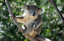 Cute Koala Scratches a Haunch. A cute Koala sits in his tree scratching an itch on his leg royalty free stock photo