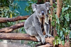 Cute Koala Sitting And Eating Eucalyptus On A Tree Branch Stock Photography
