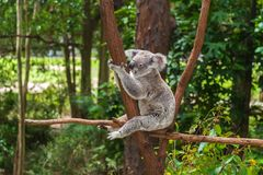 Wild koala on a tree in a green park in Australia. Cute koala sitting on a trees in a green summer park in Australia. Soft blurred background behind royalty free stock images