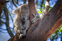 Cute Koala sleeping. In a tall tree Stock Photos