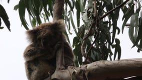 Cute koala sleeping