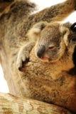 Cute Koala on the tree Royalty Free Stock Image