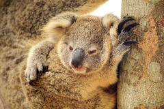 Cute Koala on the tree Stock Photo